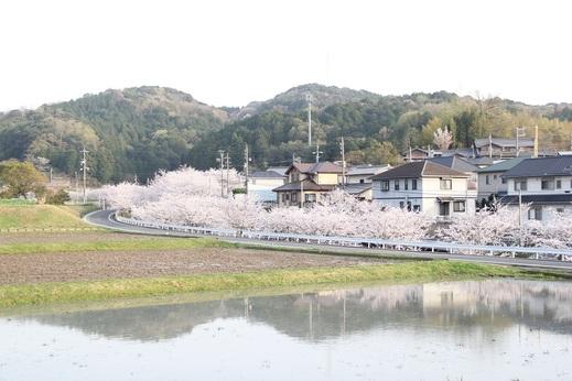岡崎市北斗川の桜並木